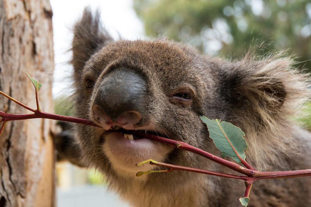 ⓫ Kangaroo Island