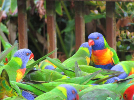 Daintree - Parrots ( birdfeeding)