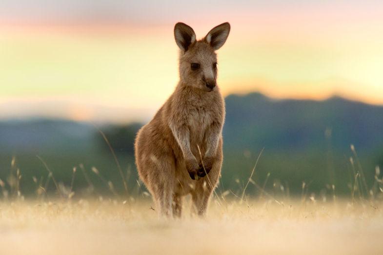Joey in Tasmanië