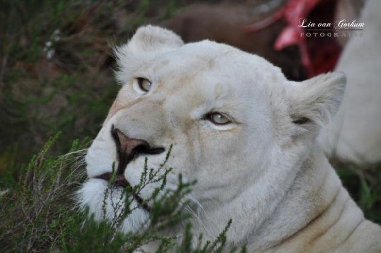 Inkwenkwezi de witte leeuwen gespot