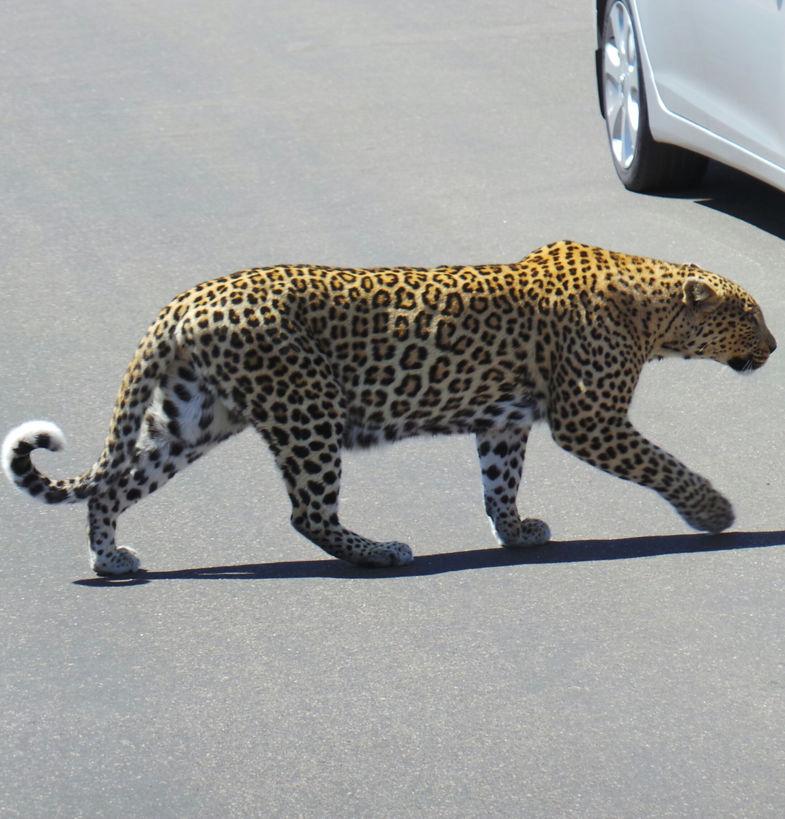 Luipaard in krugerpark