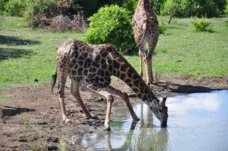 Giraffe in het Krugerpark