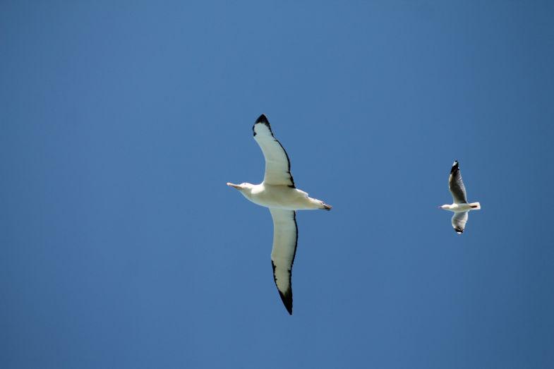 Twee vogels in één klap! Albatross versus zeemeeuw