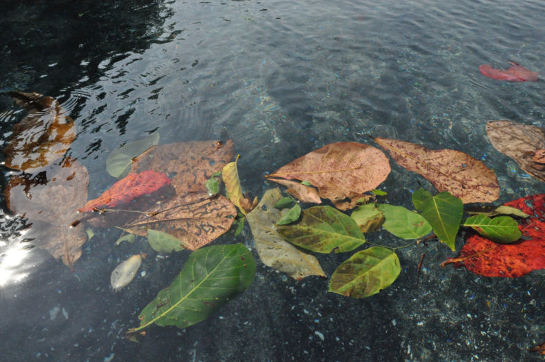 Tangkoko leaves in the North Pacific Ocean