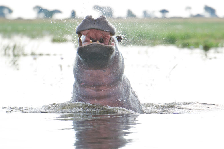 Narrow escape from Hippo assault... ©Marc Brester/AQM