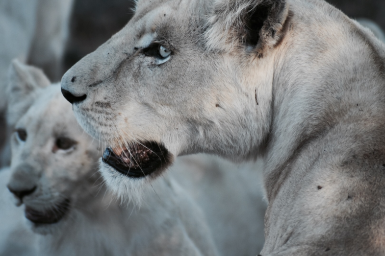 Witte baby leeuw