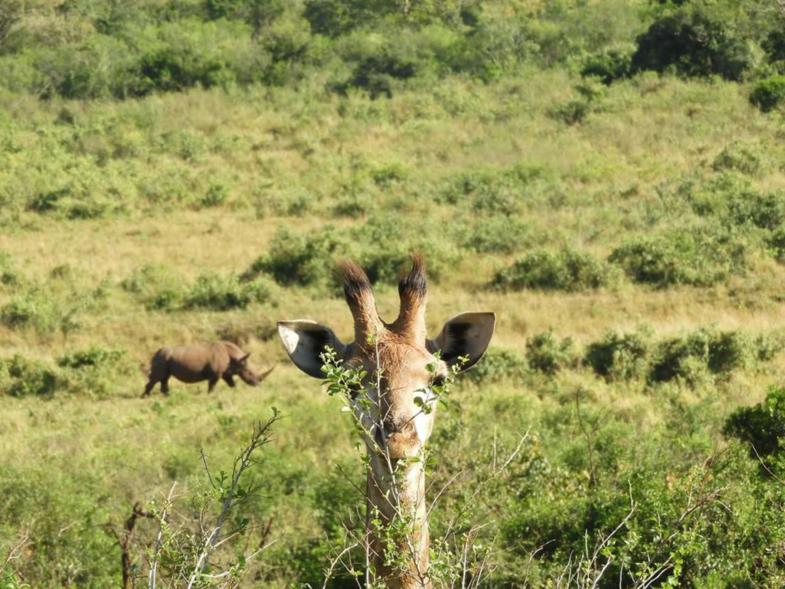 Giraffe + neushoorn in Krugerpark!