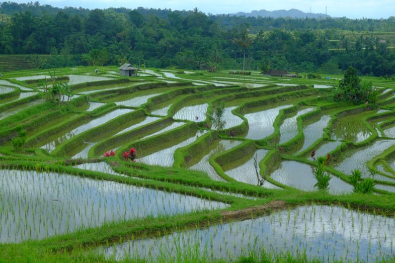 Rijstterassen van Jatiluwih