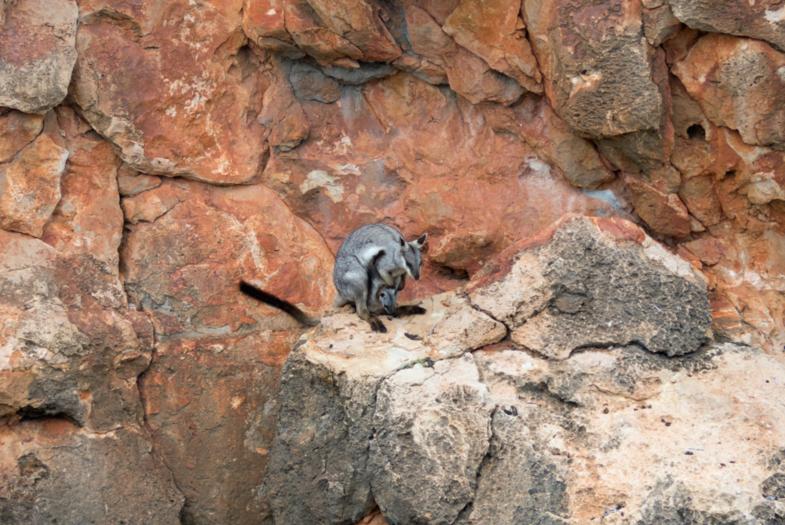 Rock wallabie met kleintje