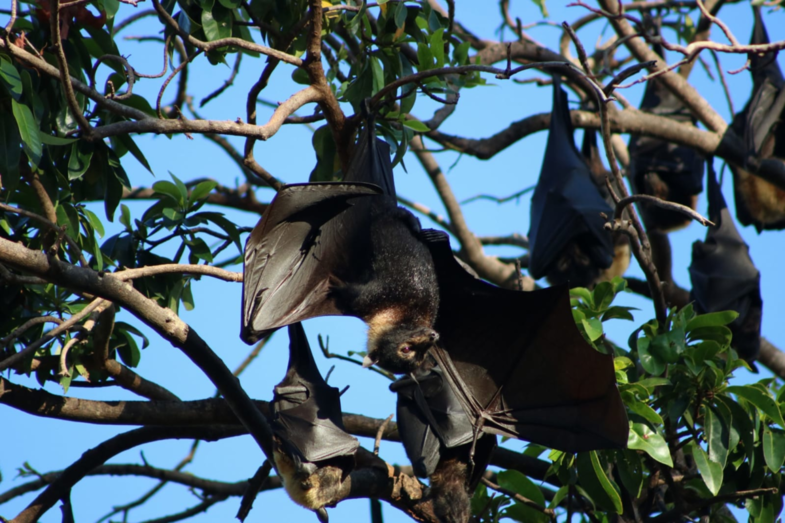 Mega bat @ Cairns