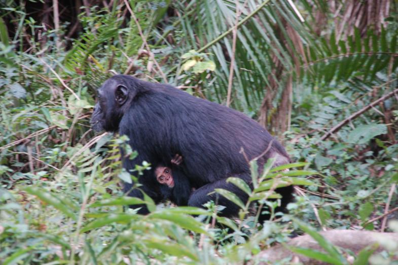 Chimp met jong