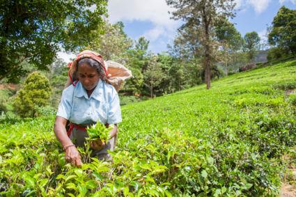 Zo begint jouw kopje Ceylon thee :)