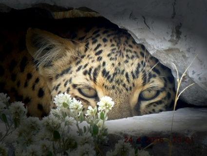 Jaguar zoekt verkoeling