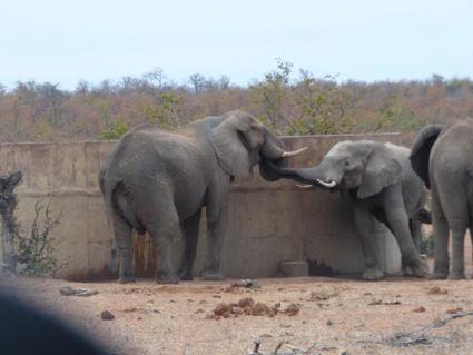 Niet groot genoeg ? Dan bij mama water halen, zó lief ! Kruger 2016