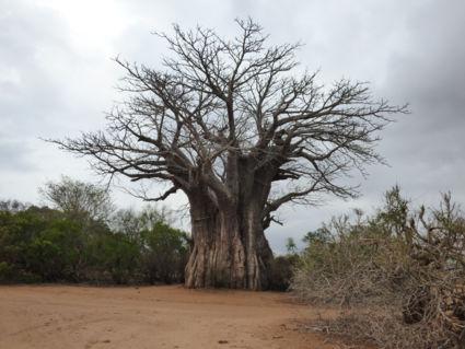 Meeste zuidelijke baobab - Kruger 2016