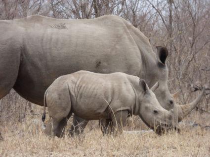 Op stap met mama Rhino Kruger 2016