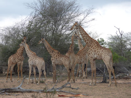 Allemaal verzamelen ! Kruger 2106