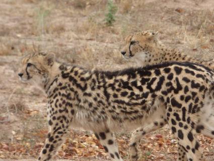 Gewoon jachtluipaard met King Cheeta 2016