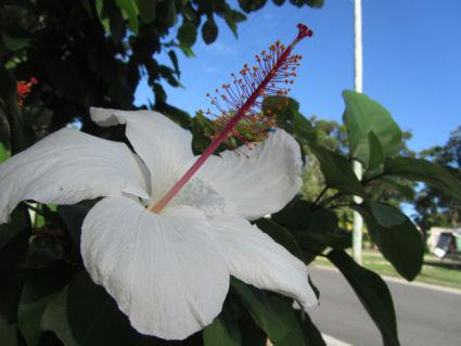 Een witte Hibiscus