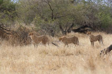 Cheetah moeder met drie cubs - de 3e wilde niet op de foto, die zit tussen de bosjes