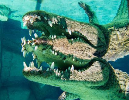 Kooiduiken met krokodillen