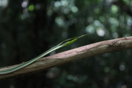 Felgroene slang kruist ons pad op weg naar de Voltzberg, Suriname