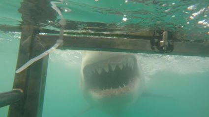 Great White Shark cage diving, super gaaf!!