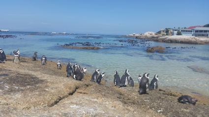 Pinguïns in Zuid-Afrika, de beste antistress locatie bij uitstek.