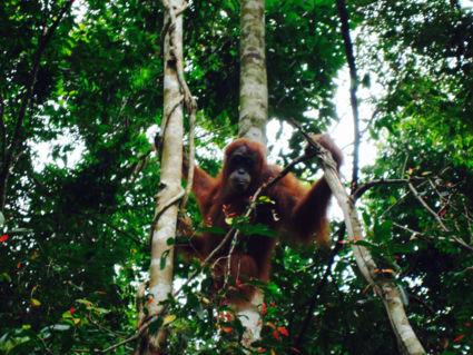 Een avontuurlijke tocht naar één van de weinige Orang Oetans in het wild
