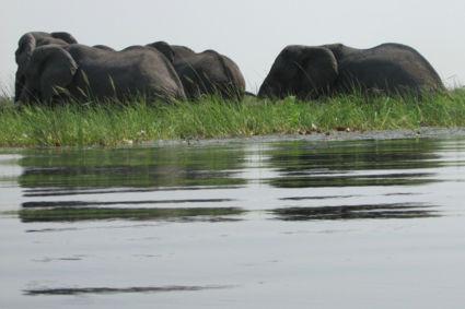 Olifanten in de Okavango Delta