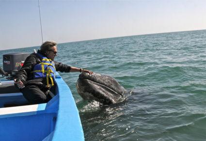 Intiem moment met pasgeboren grijze walvis