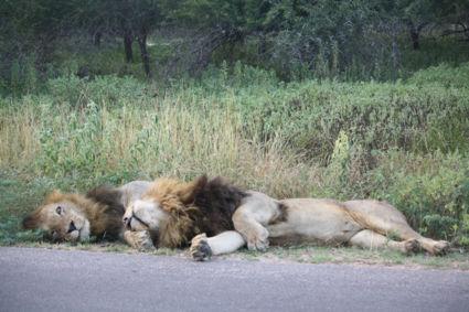 Leeuwen aan het knuffelen @ krugerpark