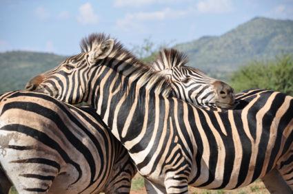 Knuffelende zebra's