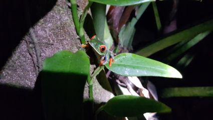 Roodoogmaki kikker