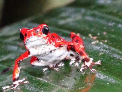 Kikkertje op red frog beach