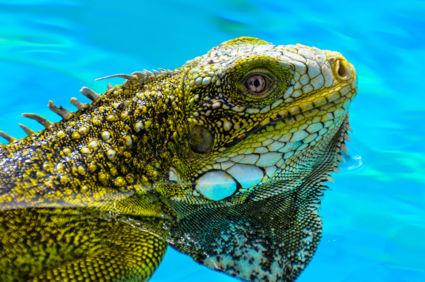 Groene leguaan in helder blauw water