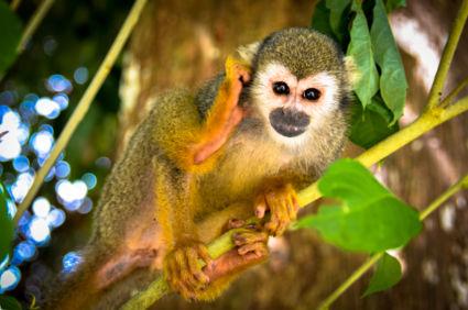 Doodskopaapje in de Amazone van Suriname