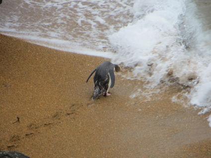 Papa Pinguïn gaat uit vissen voor zijn baby