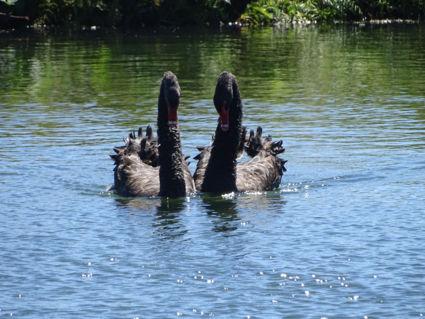 Zwanendans op het water