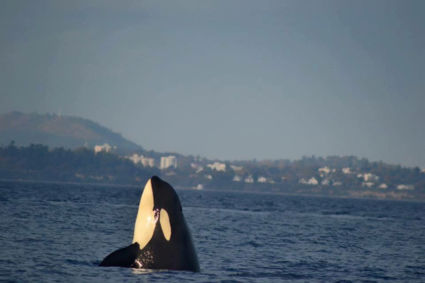 Dagtocht op het water voor spotten van Walvissen en Orkatocht