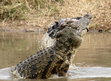 Krokodil & baby nijlpaard