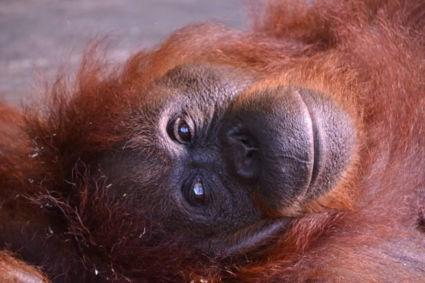 Hier word je toch meteen vrolijk van? Prachtige orang oetan in Maleisisch Borneo ♡