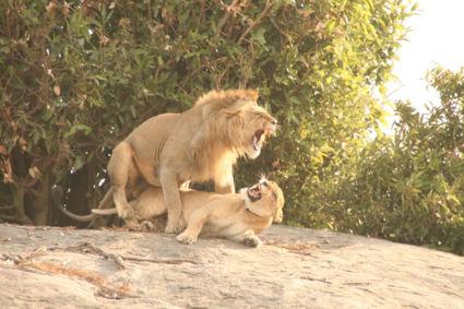 Twee wel heel vrolijke leeuwen
