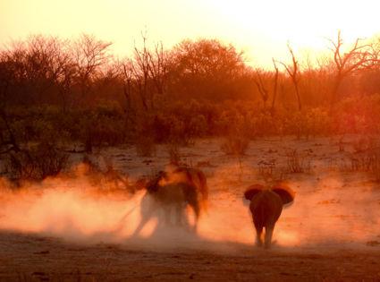 Spelende Olifanten in de zonsondergang