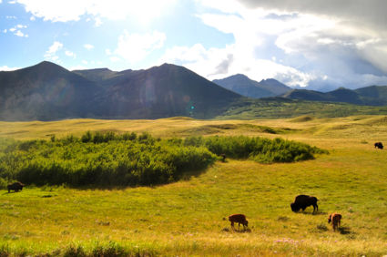 Grazing buffalo's at Waterton Lakes National Park, AB, Canada
