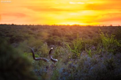 Zonsondergang met de prachtige hoorns van een kudu
