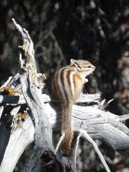 Grondeekhoorn op zoek naar eten (Lake Louise)