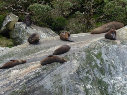Zonnende zeehonden bij Milford Sound