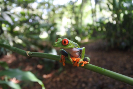 Red Eyed Tree Frog in the Jungle of Costa Rica