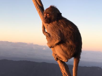 Grijze makaak op de Batur vulkaan